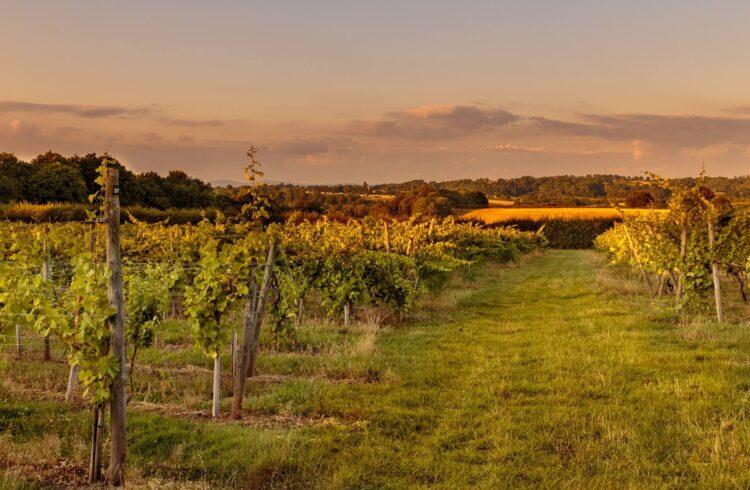 Astley Vineyard 2
