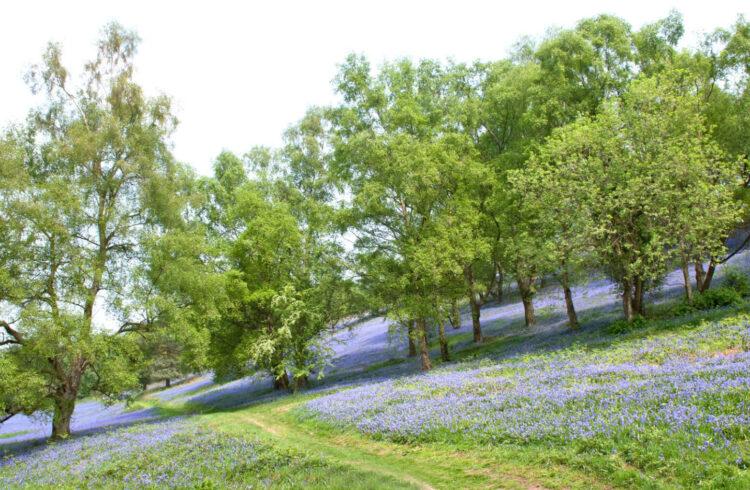 Bluebells on the Malvern Hills