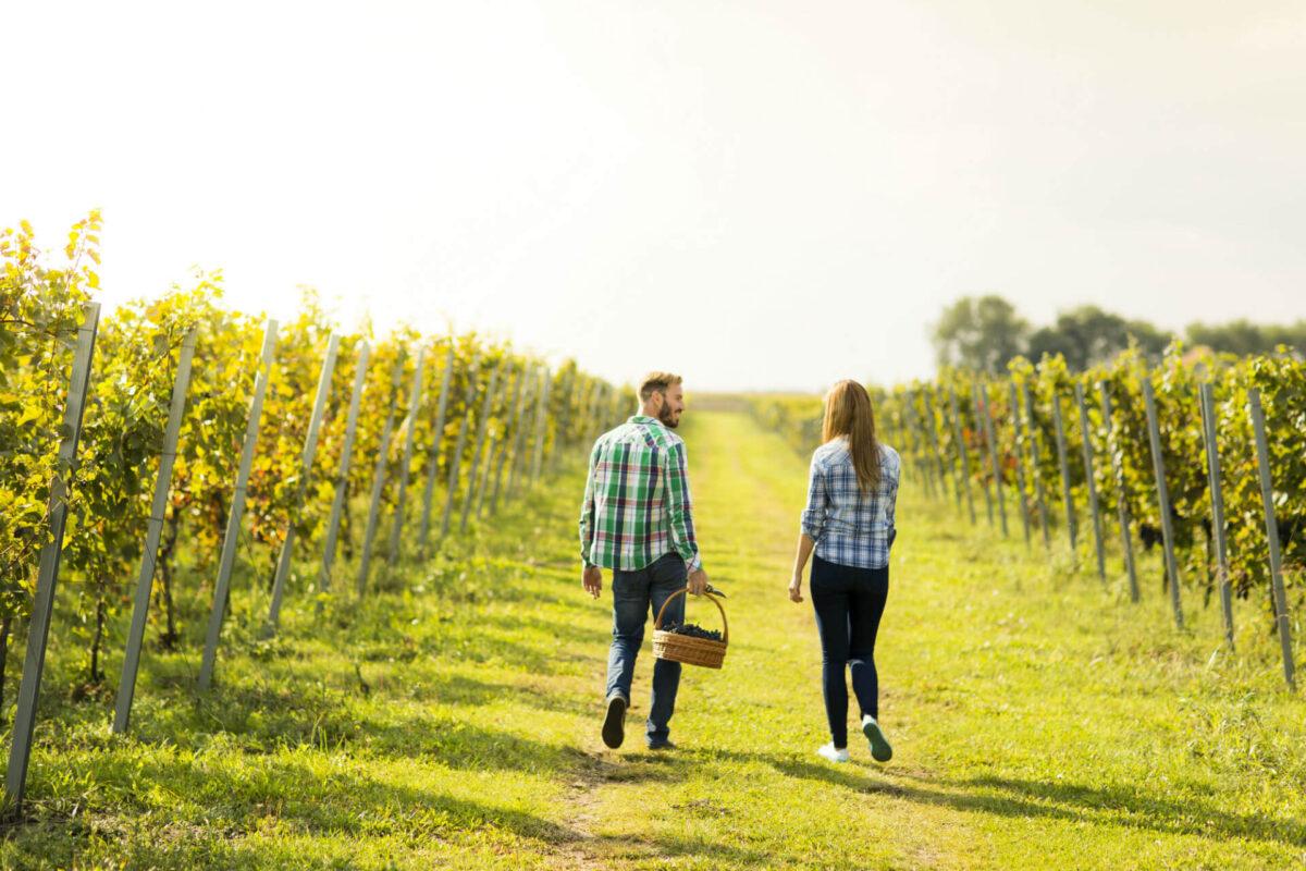 Walking through a vineyard