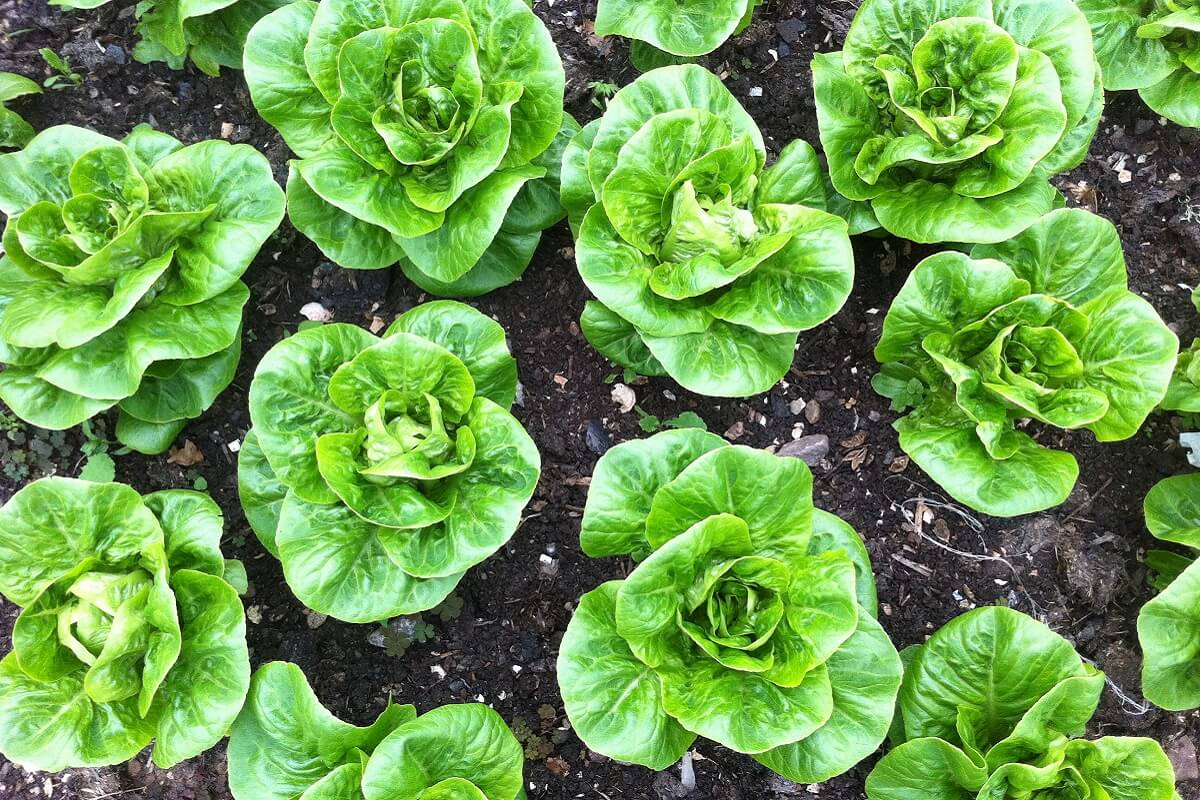 The Fold Cafe - lettuces growing